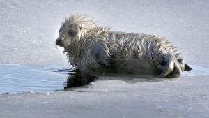 Saimenvikarkut på is.
