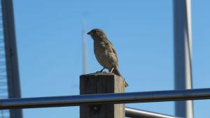 En fågel på en uteservering. Den sitter på ett räcke. Knallblå himmel i bakgrunden.