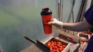 En hand håller i en vattenflaska ovanför en låda med tomater.