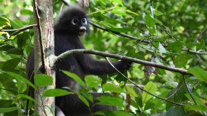 En svart apa med litet huvud och stora ögon sitter i ett grönt träd.