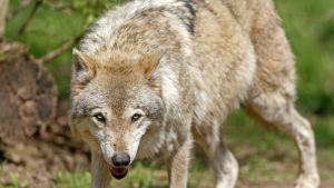 Bild av europeisk varg i vilddjurspark i Cleebronn i Tyskland.