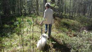 kvinna med en liten vit hund i koppel. Kvinna har ryggen till. Går i solsken i en skogsglänta. Vitsippor, vår.