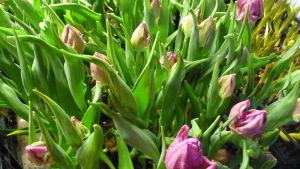 Rosa tulpaner som växer tätt i en låda. Ska bli snittblommor.