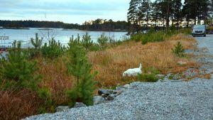 Hunden Nappi snusar på marken vidvattenbrynet i båthamnen i Baggö Marina.