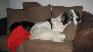 koira makaa sohvalla