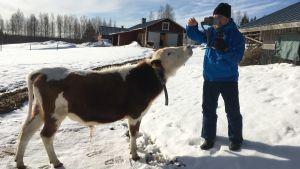 Kuvattavan (kuvassa lehmä) on usein helpompi rentoutua pienikokoisen tv-kameran edessä.
