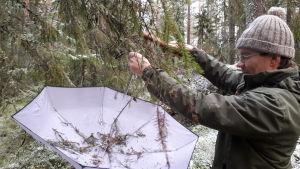 Niclas Fritzén tar ett paraply till hjälp nr han ska undersöka vilka småkryp som håller till i granen.