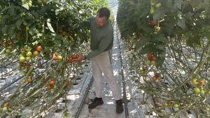 Jens Juthström står mellan två långa rader av tomatplantor i ett växthus och inspekterar en klase tomater.