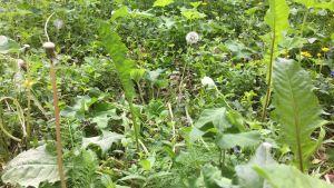 En äng full med ätbara växter. Eller ogräs. Det beror på hur man ser det.