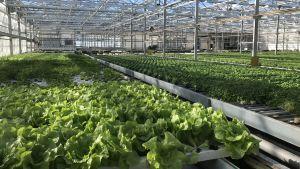 Salladsodling i växthus