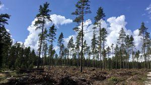 En avverkad skog, tallar står kvar glest. Marken är bearbetad. Solen skiner