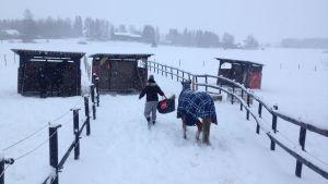 En kvinna leder en häst. De går utomhus i snö mot en hage.