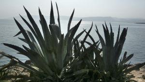 Agave kasvaa Kapernaumissa Genesaretin järven rannalla