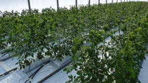 växthus fyllt med tomatplantor, knappt en meter höga