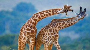 Kirahvien tanssia. Avara luonto: Luonnon parhaat tanssijat.