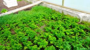 Trädgårdsland med dill, persilja och bladpersilja