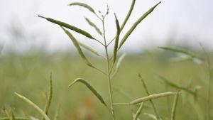 Närbild på raps, en form av oljeväxt, på ett fält.