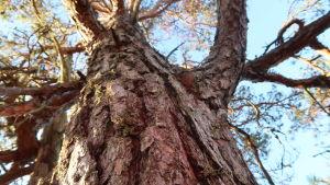 En grov tall med grov sköldbark fotad underifrån.