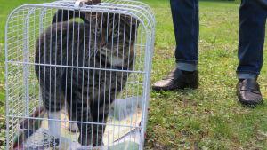 En gråbrun och svartspräcklig katt inne i en bur. Buren är på marken utomhus. Sommar och grönt gräs.