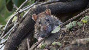 Råtta tittar fram bakom bladen.