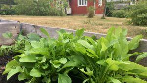 Stor salladd och spenat växer i en grå trälåda, en röd stuga i bakgrunden.