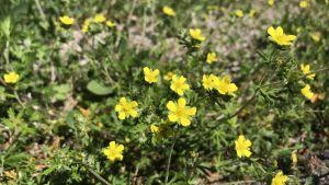 Små gula blommor som växer i sanden.