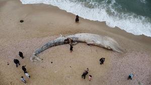 En död sillval uppspolad på en strand