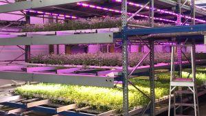 Vertikal odling i växthus