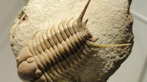 Fossil av trilobit.