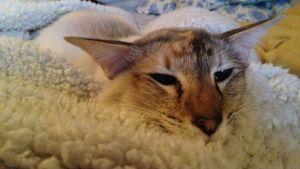 katt som ligger på filt och verkar ha det skönt.
