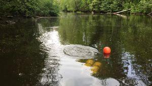 Sukeltajat tutkivat jokihelmisimpukan elinoloja Mustionjoessa.