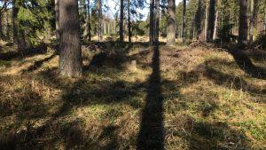 Skog där det växer tall och gran. Blå himmel, solen skiner.