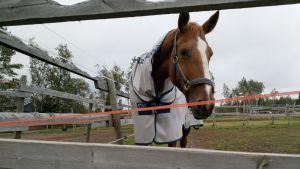 Häst i Kvikant i Karleby.