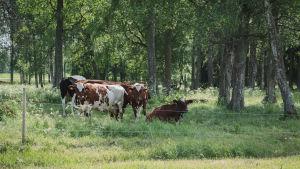 Lehmiä kesälaitumella Vehmaan kartanolla Juvalla.