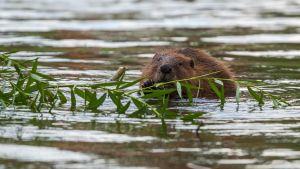 majava syö puunoksaa vedessä