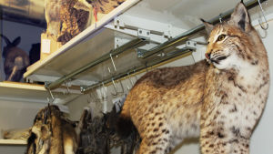 Täytettyjä eläimiä kuivatushuoneessa.
