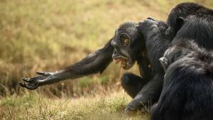 Tre schimpanser samlade i gräset.