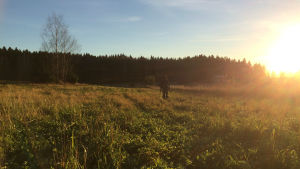Åker i solnedgång, Ari Tuominen med metalldetektor