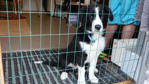 En hundvalp sitter bakom en metallport och tittar genom gallret. Valpen är svartvit med ett blått halsband.