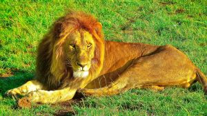 En lejonhanne ligger på gräsbevuxen mark.
