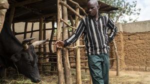 Frederick Kazigwemo hälsar på nötkreatur