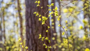 Koivuja keväisessä metsässä.