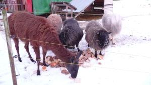 lama. får, get + alpackor som inte syns på bild, äter bröd på en snötäckt äng i hittedjurshemmet Skeppsdal Family i Ingå.
