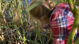 Anni Selenius håller en mätare i vattnet, runt henne finns mycket vass.