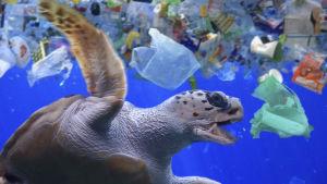 Skäldpadda simmar bland plastavfall.