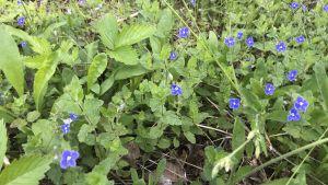 Små blåa blommor på en äng.