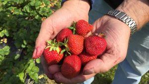 En handfull jordgubbar.