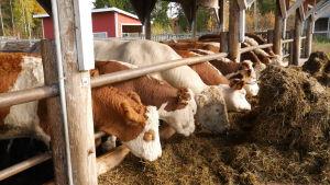 lehmiä ruokailemassa