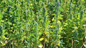Quinoa odlas på Olsböle gård.