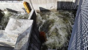Vatten som forsar vid en fiskväg. Cementväggar runt vattnet.